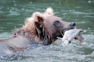 Bär auf der russischen Halbinsel Kamtschatka, Reisen und Ausflüge mit Go-East Reisen